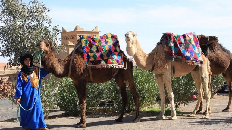 Mezouga Camels. Trek In Morocco.