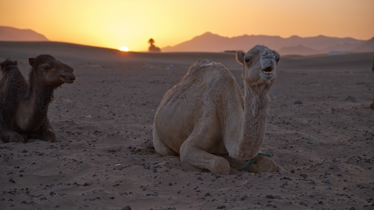 Zagora dunes on camels. Trekking tours of Morocco with Trek In Morocco.